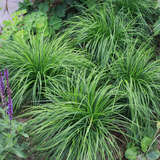 Pilzkopf-Segge - Carex caryophyllea 'The Beatles'