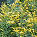 Goldrute - Solidago sphacelata 'Golden Fleece'