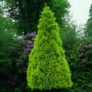 Goldzypresse - Chamaecyparis lawsoniana 'Golden Wonder'