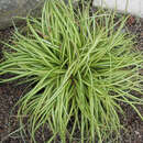Japan-Goldsegge - Carex oshimensis 'Evergold'