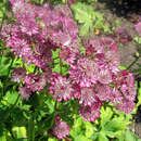 Sterndolde - Astrantia major 'Roma'