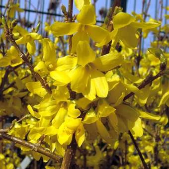 Goldglöckchen - Forsythia intermedia 'Weekend'